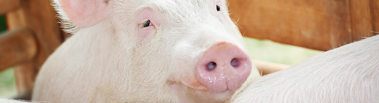 Swine Header Image